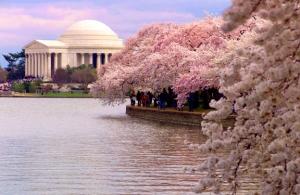 WashingtonDC-Cherry-Blossoms-2